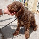 Estrella, ca. 2019, ca. 45cm, Spanischer Wasserhund