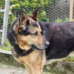 Linda, 10/2011, ca. 65 cm, Schäferhund, 27383 Scheeßel