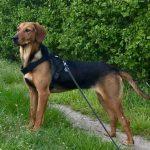 Lou. 12.04.2020, ca. 50 cm, Backe Schäferhund Mischling, 15827 Blankenfelde/Mahlow