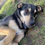 Lucky, 15.06.2018, ca. 60 cm, Schäferhund Labrador Mischling, 21629 Neu Wulmstorf