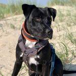 Logan, 10.03.2020, 57 cm, Labrador Dogo Argentino Mischling, 58515 Lüdenscheid