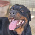 Dariel, ca. 06/2020, ca. 60 cm, Rottweiler