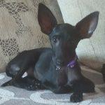 Ron, 01.03.2021, ca. 28 cm, Pinscher Chihuahua Mischling
