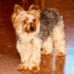 Amaya, Yorkshire Terrier, 24 cm, 01.04.2014, Spanien