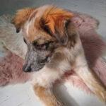 Felix, Australian Shepherd, Podenco Mischling, 45 cm, 01.07.2020, Ausland