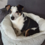 Fred, Jack Russell Terrier, Corgi Mischling, 30 cm, 01.09.2013, Deutschland