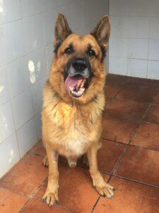 Hachi, Deutscher Schäferhund, 66 cm, 01.06.2013, Spanien