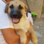 Jack, Labrador Mischling, 55 cm, 01.05.2021, Spanien
