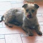 Joan, Yorkshire Terrier, Pinscher Mischling, 23 cm, 01.06.2016, Spanien