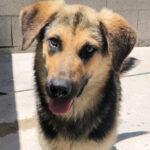Juanjo, Schäferhund Mischling, 55 cm, 01.09.2020, Spanien