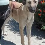 Julio, Mastin, Dogge Mischling, 65 cm, 20.19.2020, Spanien