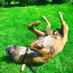Link, Englische Bulldogge, Boxer Mischling, 58 cm, 13.01.2009, Deutschland