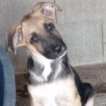 Lolo, Schäferhund Mischling, 55 cm, 01.04.2021, Spanien