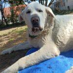 Luz, Spanischer Hirtenhund, 77 cm, 01.09.2012, Deutschland