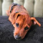 Maxi, Podenco, Terrier Mischling, 40 cm, 01.04.2021, Deutschland