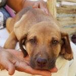 Nico, Labrador Mischling, 55 cm, 01.05.2021, Spanien