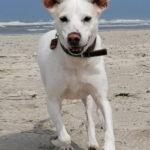 Nino, Jack-Russell Terrier, Labrador Mischling, 49 cm, 01.08.2009, Deutschland