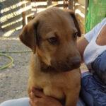 Otto, Labrador Mischling, 55 cm, 01.05.2021, Spanien