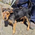 Pirato, Terrier Mischling, 38 cm, 01.06.2017, Spanien