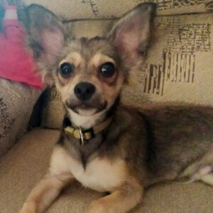 Tequila, Chihuahua Mischling, 20 cm, 01.03.2021, Spanien