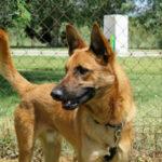 Totufo, Schäferhund Mischling, 60 cm, 01.09.2020, Spanien