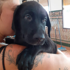 Ubbe, Labrador Mischling, 55 cm, 01.05.2021, Spanien