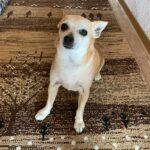 """Yaki – jetzt """"Cookie"""", Chihuahua Mischling, 25 cm, 01.04.2013, Deutschland"""