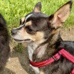 Sasha, 01.06.2012, 28 cm, Chihuahua, 53340 Meckenheim