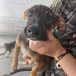 Thelma, Schäferhund-Mix, ca. 01.06.2021, Endgröße ca. 50-60cm